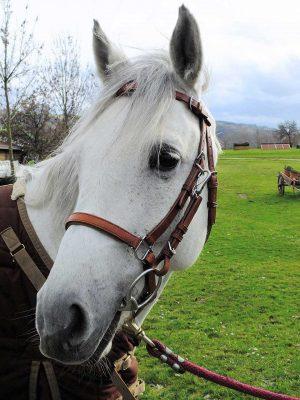 Testiera-capezza con imbottiture su frontalino e capezzino per cavallo taglia Full.