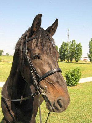 Testiera per cavallo in cuoio con imbottiture realizzata in taglia Full.